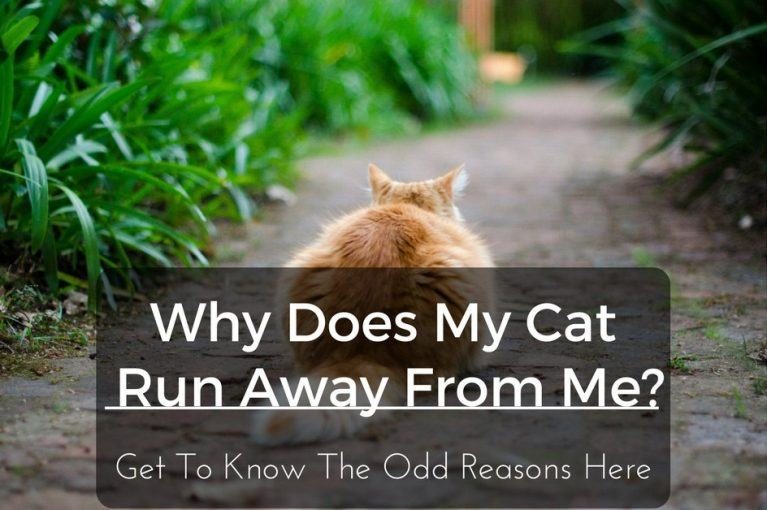 why-does-my-cat-run-away-from-me