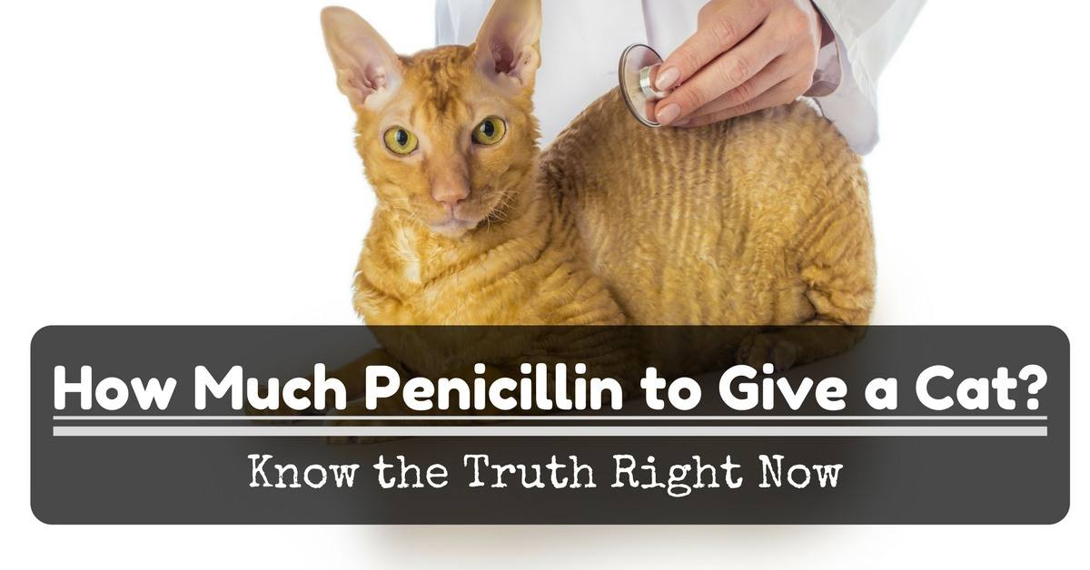 How-Much-Penicillin-to-Give-a-Cat-Know-the-Truth-Right-Now-1200x