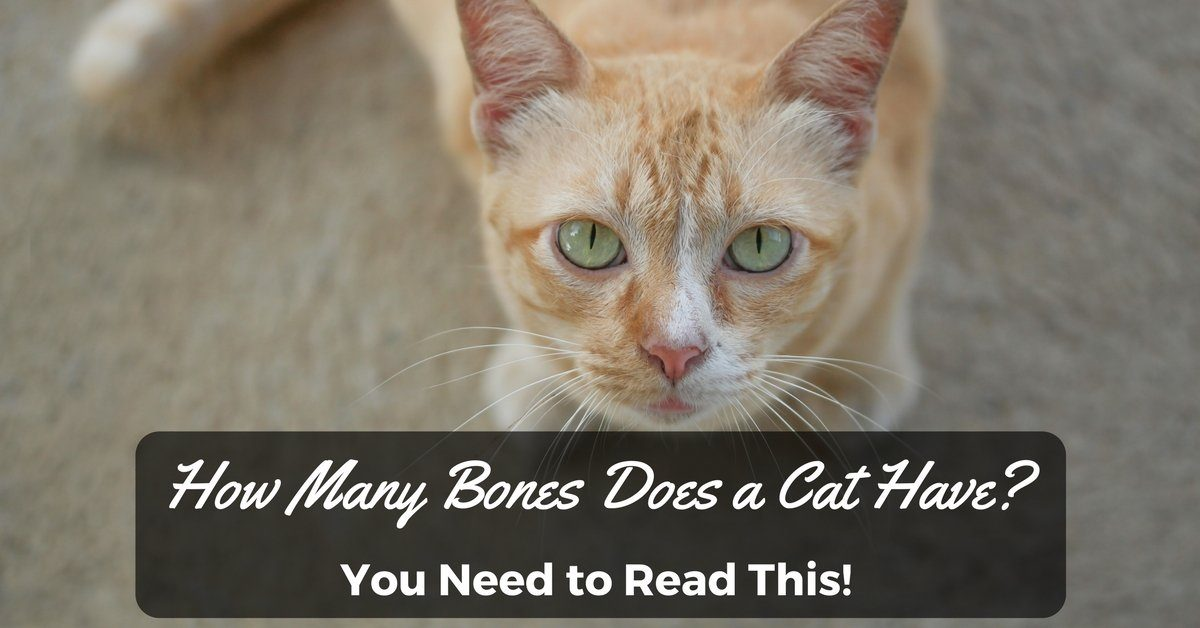 How-Many-Bones-Does-a-Cat-Have-You-Need-to-Read-This-1200x